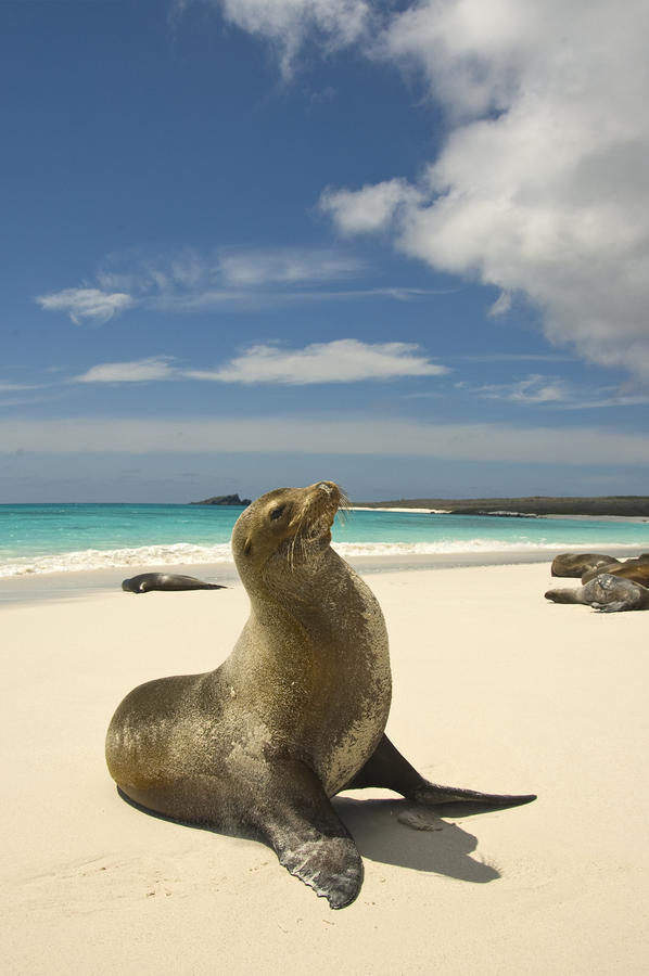Galapagos Sea Lions Resting On A White Photograph