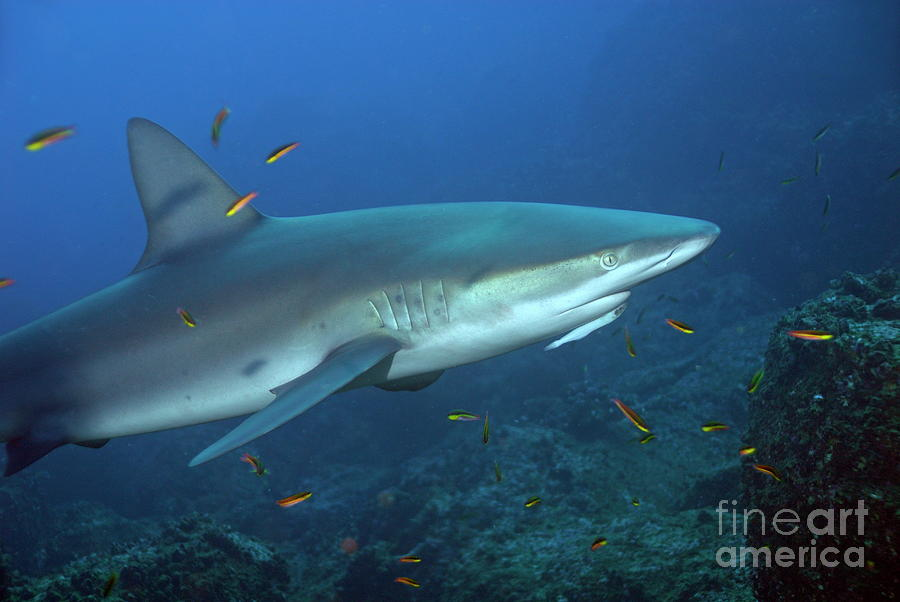 Galapagos Shark Photograph