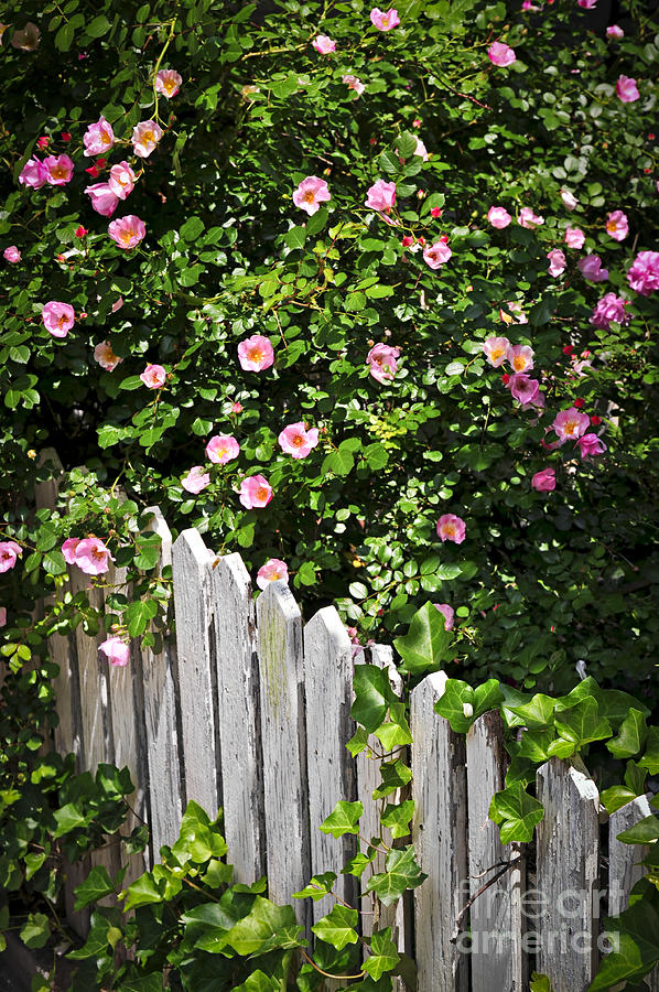 Garden Fence With Roses Photograph