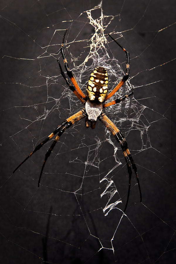 Garden Spider And Web Photograph