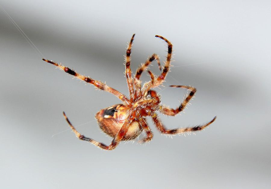 Garden Spider Number  Photograph By Scott Brown