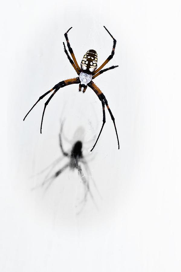 Garden Spider With Shadow Photograph
