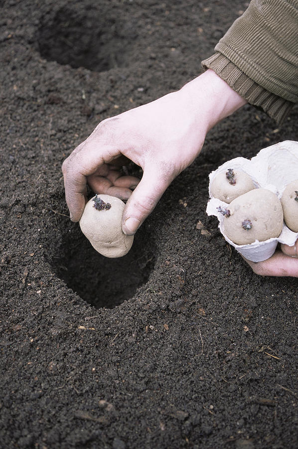 'charlotte' Photograph - Gardener Planting Chitted Potatoes by Maxine Adcock