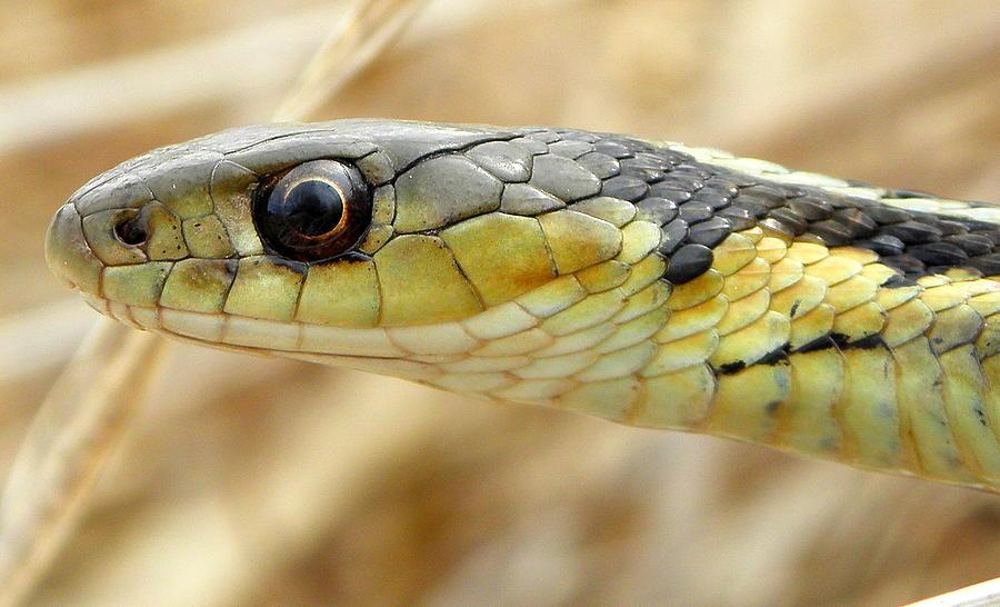 Garter Snake Macro Photograph