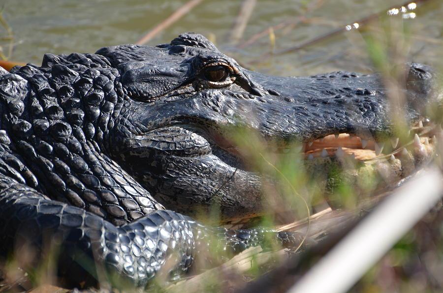Gator Photograph