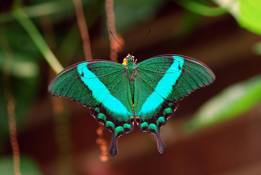 Geen Blue Butterfly Photograph