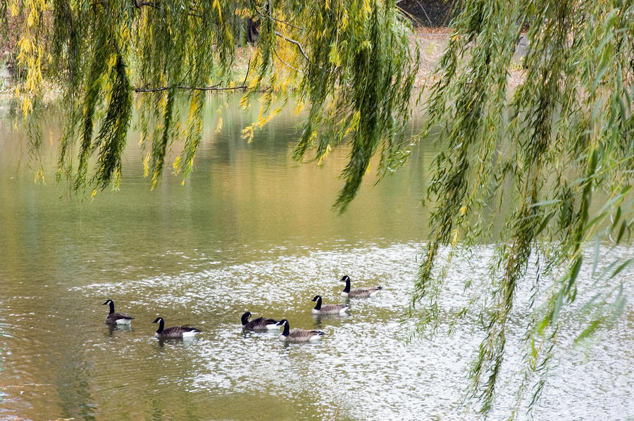 Geese In Central Park Photograph
