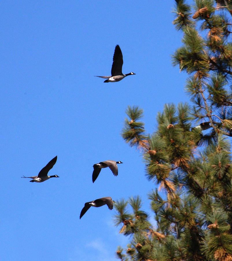 Tahoe Photograph - Geese In Tahoe by Ernie Claudio