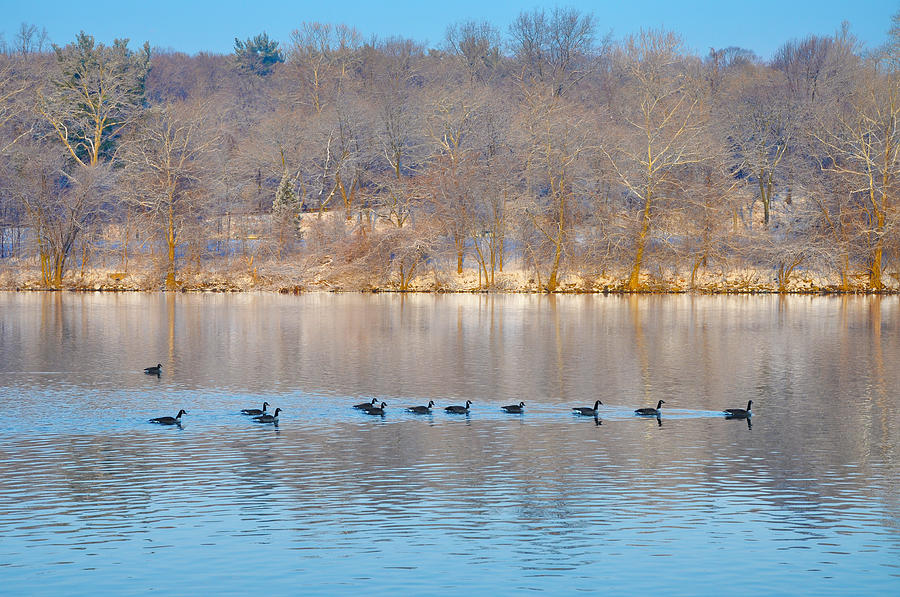 Geese In The Schuylkill River Photograph - Geese In The Schuylkill River by Bill Cannon