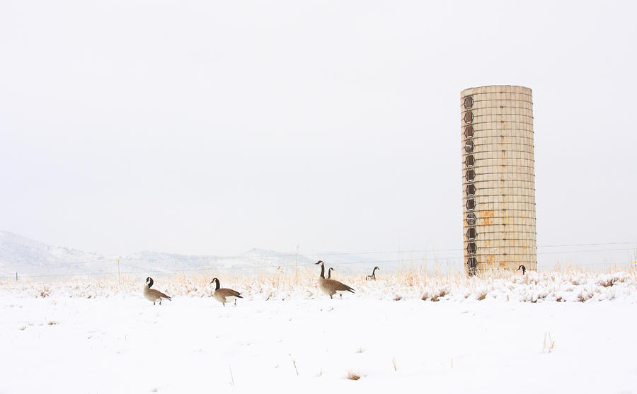 Geese In The Snow With Silo Photograph