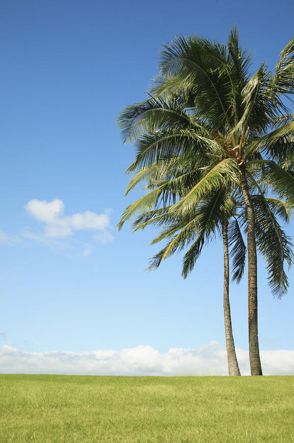 Generic Palm Tree Photograph