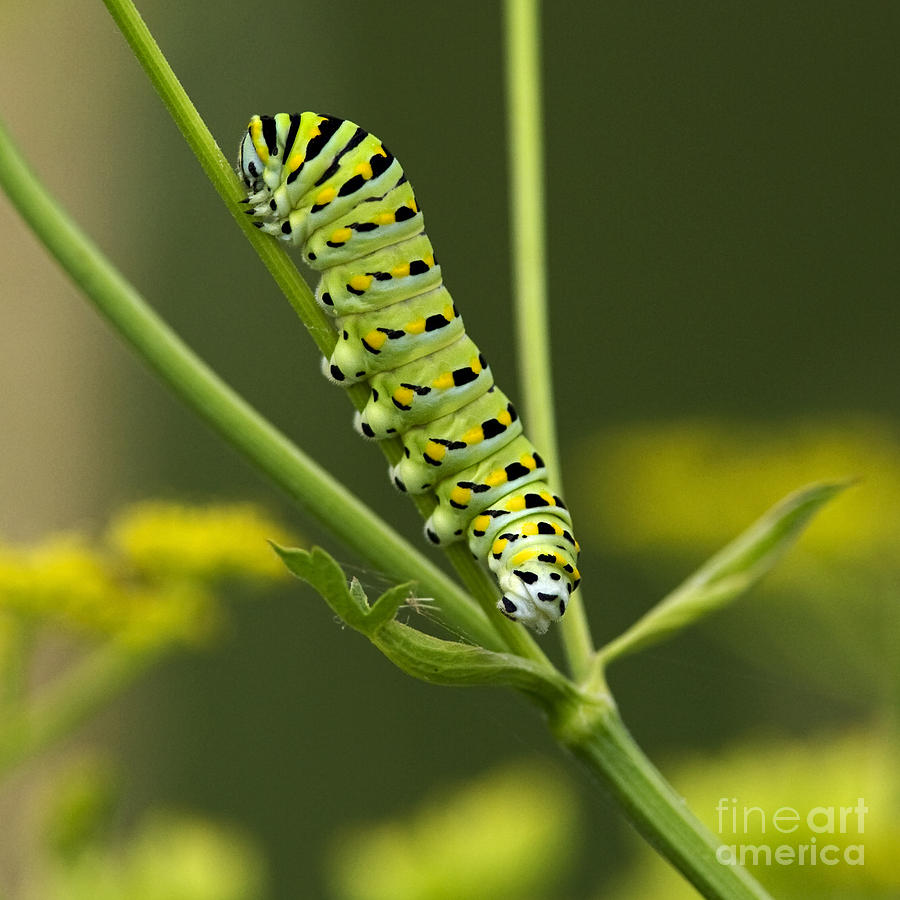 Gentleman Caterpillar... Photograph  - Gentleman Caterpillar... Fine Art Print