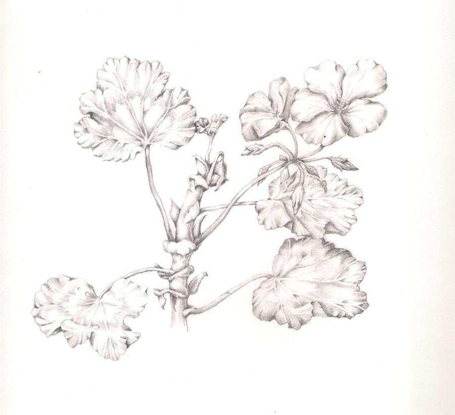 geranium flower drawing - photo #12
