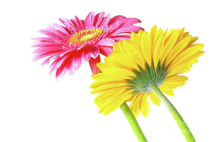 Gerbera Flowers Photograph