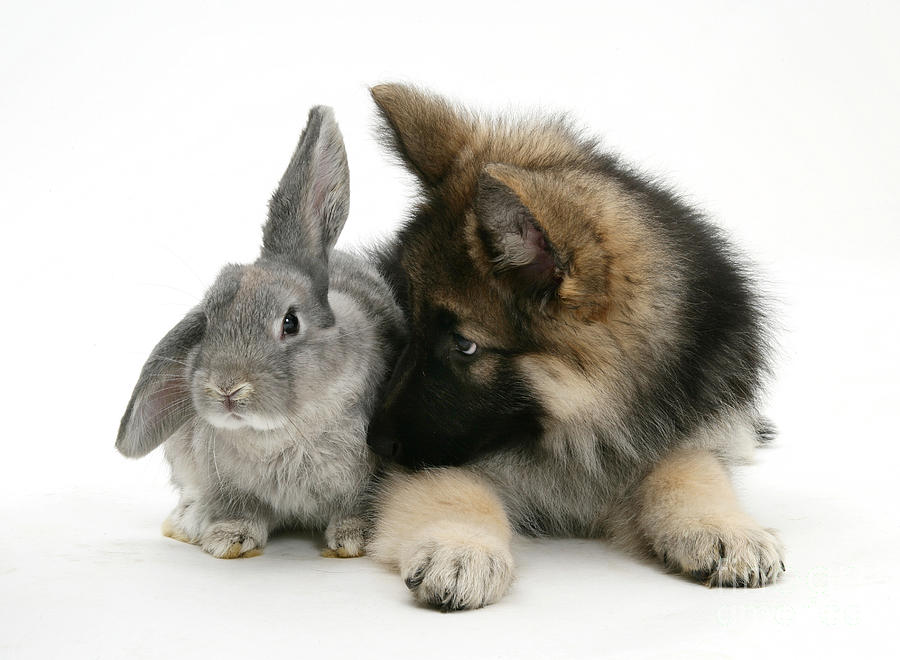 German Shepherd And Rabbit Photograph