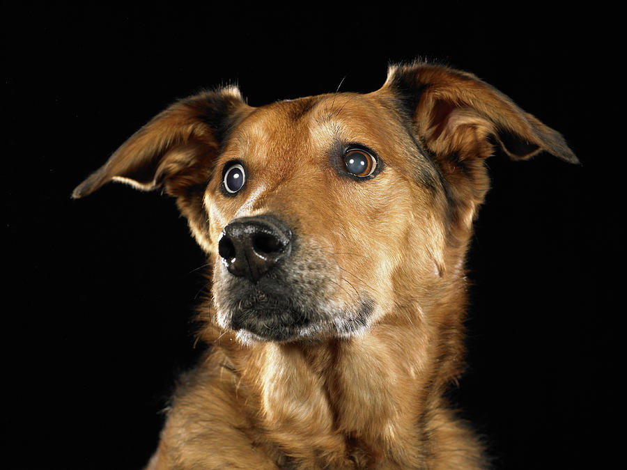 German Shepherd And Rhodesian Ridgeback Mixed Breed Dog ...
