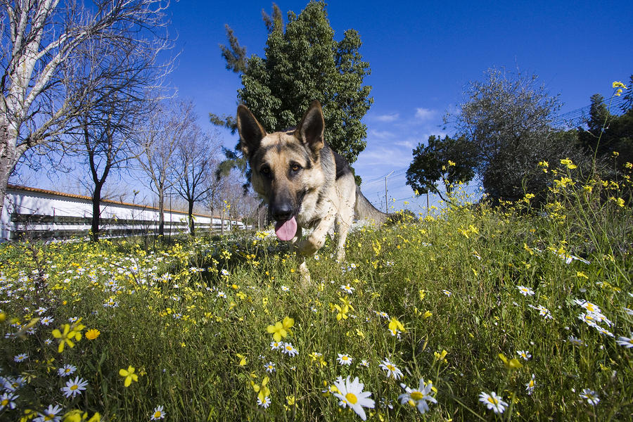 German Shepherd Photograph  - German Shepherd Fine Art Print