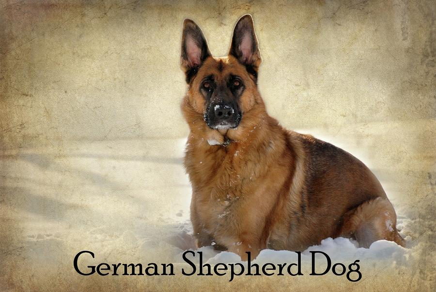 German Shepherd Dog In Winter - Textured Photograph  - German Shepherd Dog In Winter - Textured Fine Art Print