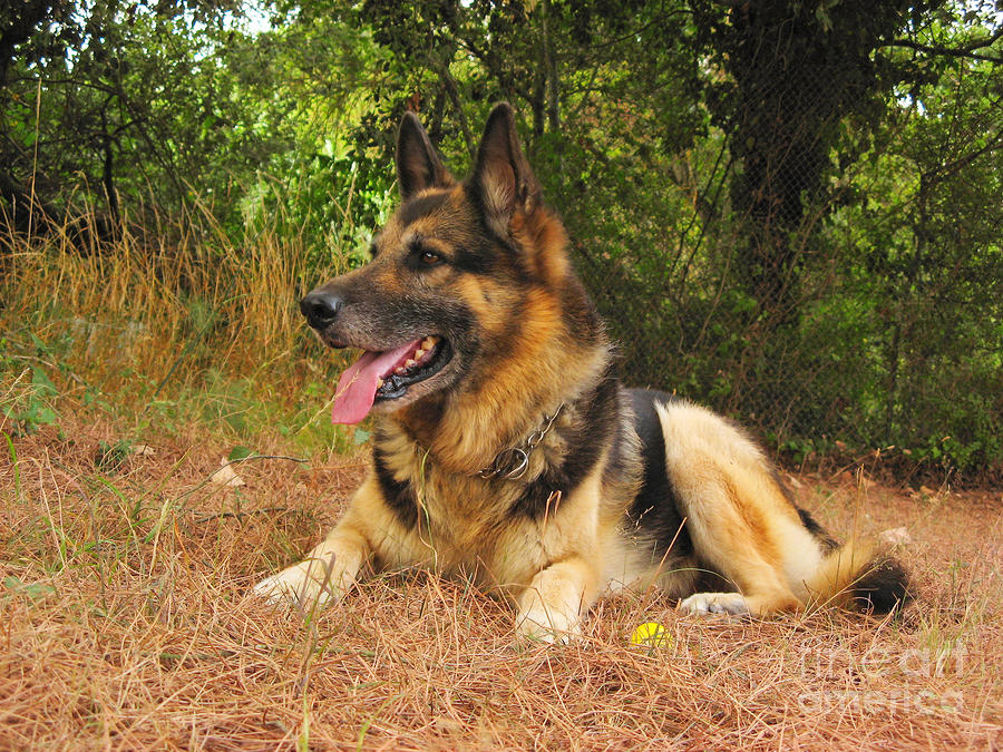 German Shepherd Dog Photograph