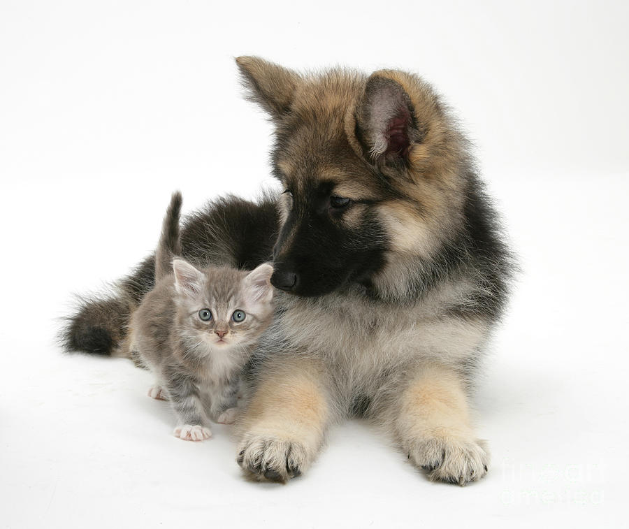 German Shepherd Dog Pup With A Tabby Photograph
