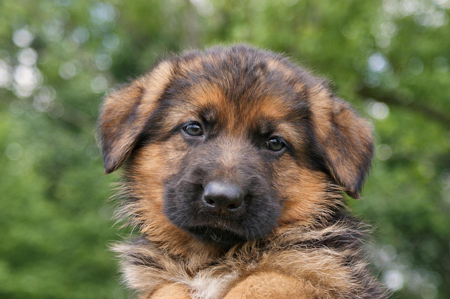 German Shepherd Puppy II Photograph