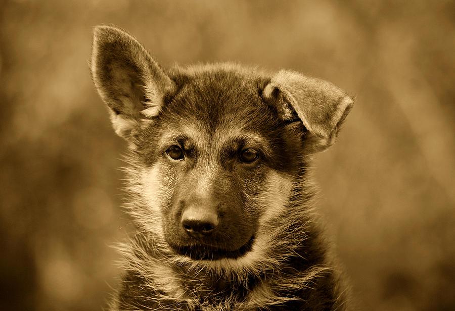 German Shepherd Puppy In Sepia Photograph