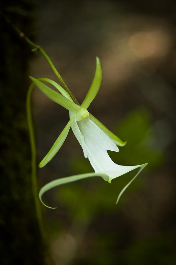 Ghost Orchid  Photograph  - Ghost Orchid  Fine Art Print