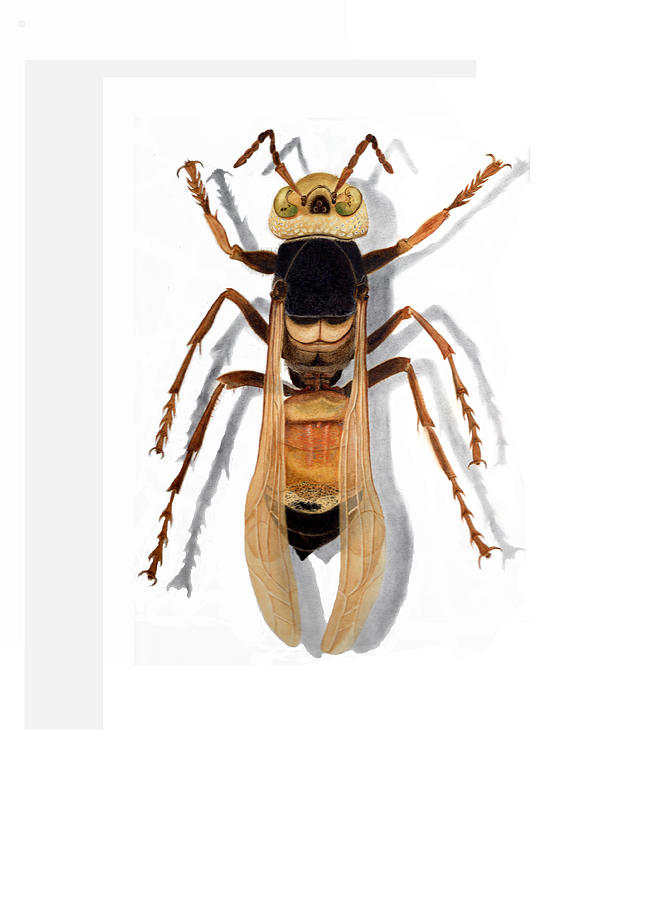 Wasp Painting - Giant Asian Hornet by Inger Hutton