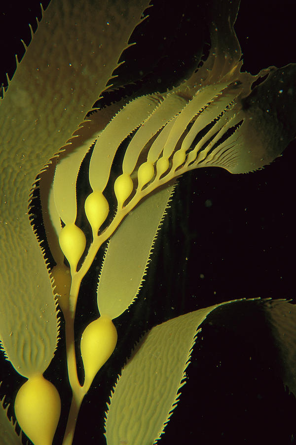 Giant Kelp Macrocystis Pyrifera Detail Photograph  - Giant Kelp Macrocystis Pyrifera Detail Fine Art Print