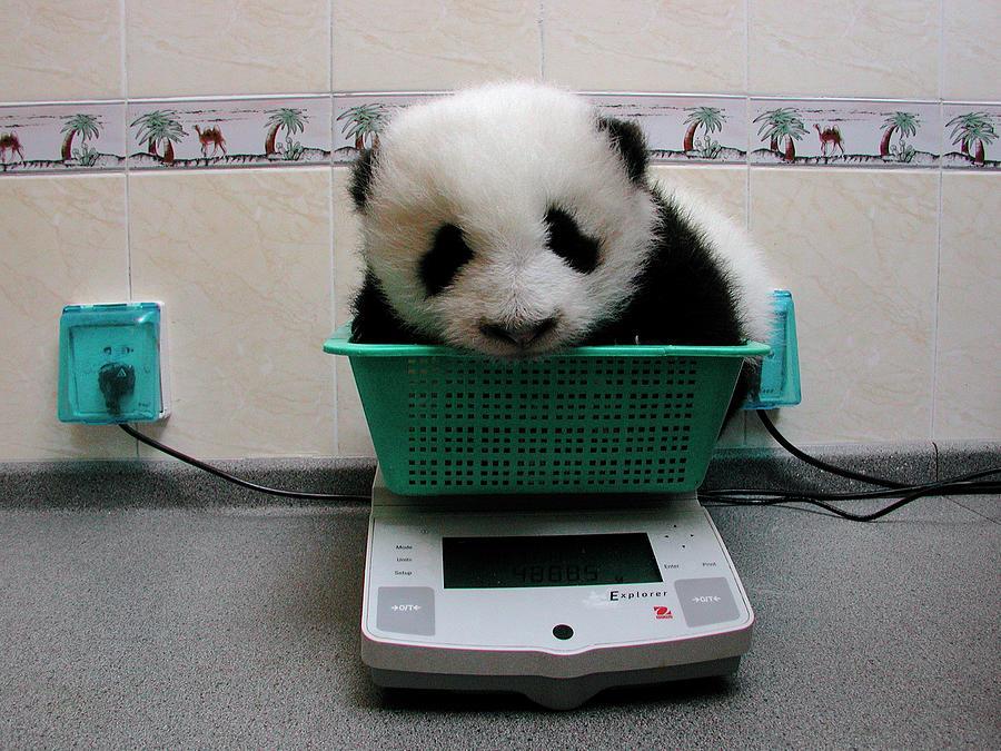 Giant Panda Ailuropoda Melanoleuca Baby Photograph