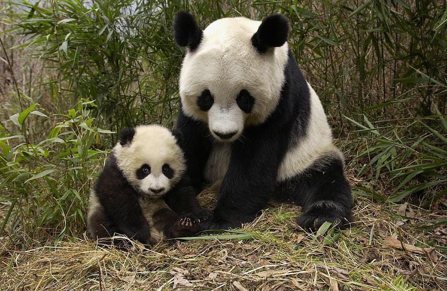 Giant Panda Ailuropoda Melanoleuca Photograph