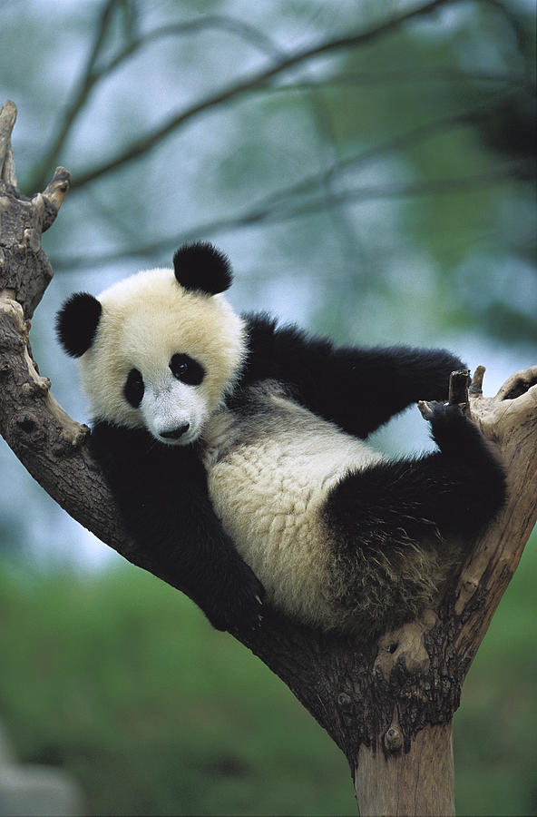 Giant Panda Cub Resting In A Tree is a photograph by Cyril Ruoso which ...