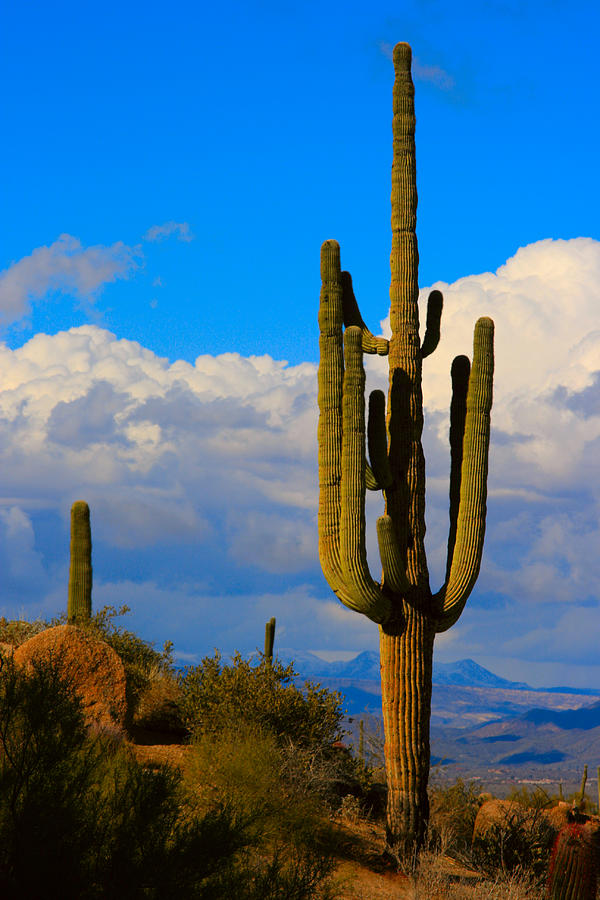 Giant Saguaro In The Southwest Desert  Photograph