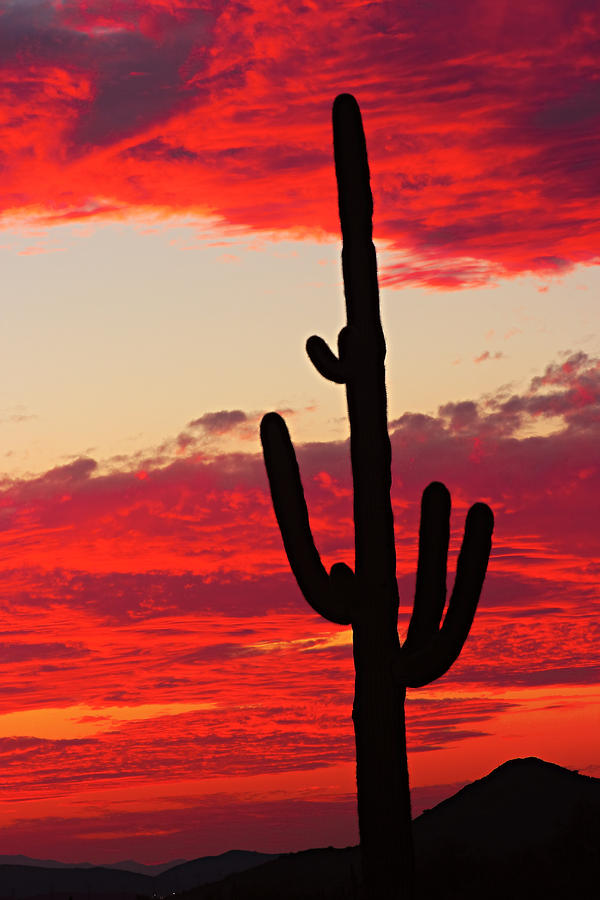 Giant Saguaro  Southwest Desert Sunset Photograph  - Giant Saguaro  Southwest Desert Sunset Fine Art Print