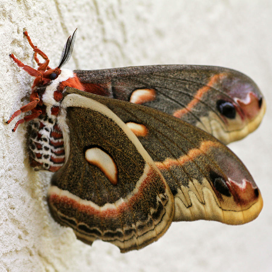 http://images.fineartamerica.com/images-medium-large/giant-silkworm-moth-063-mark-j-seefeldt.jpg