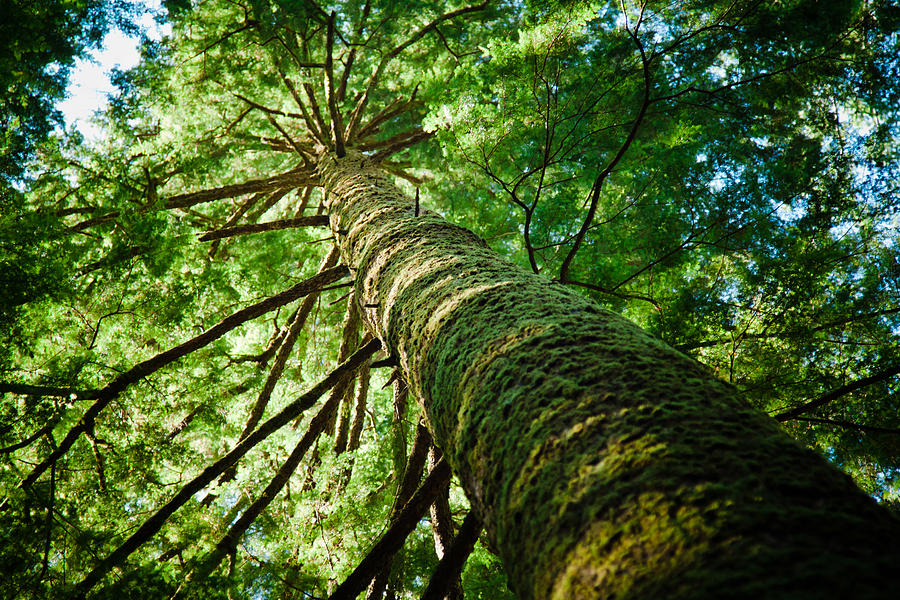 Giant Spruce Tree Canopy Photograph