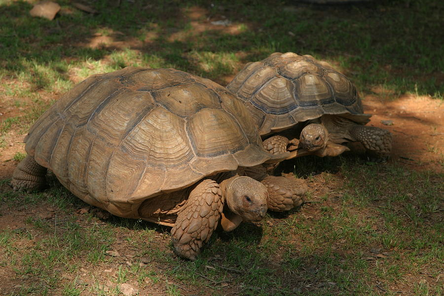 Giant Tortoises Photograph