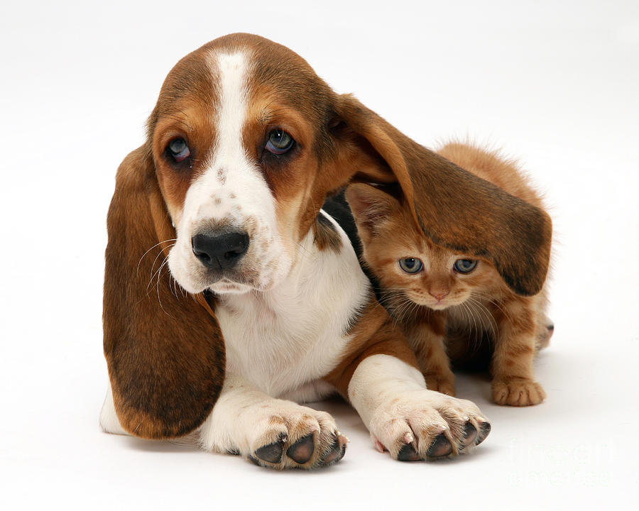 Ginger Kitten And Basset Puppy Photograph