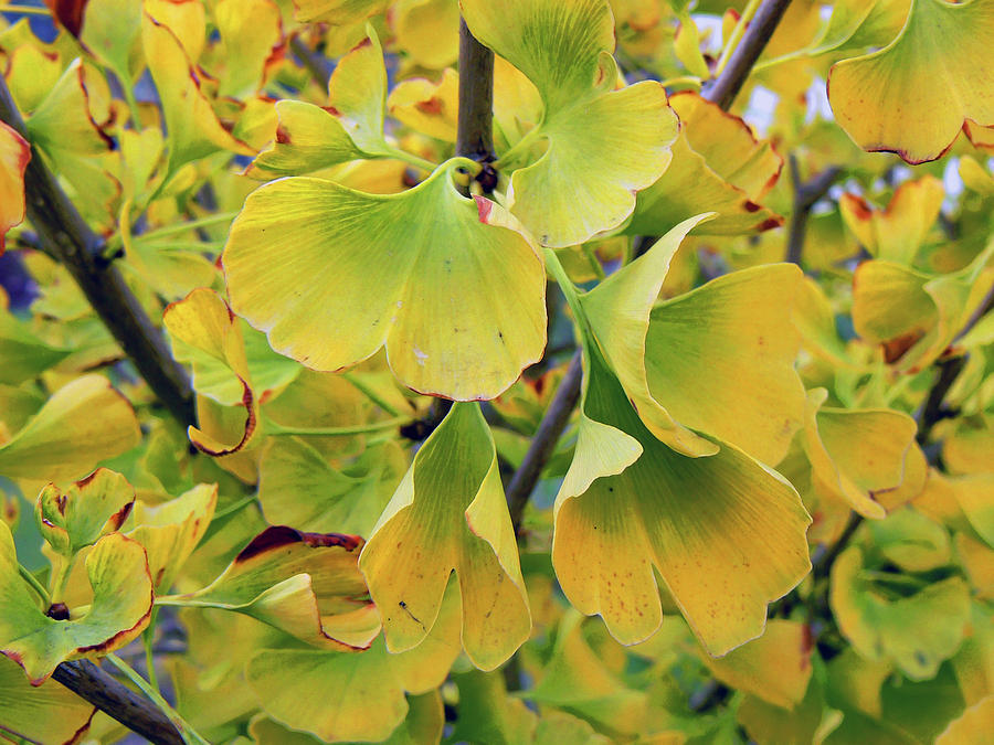 Ginkgo Gold Photograph