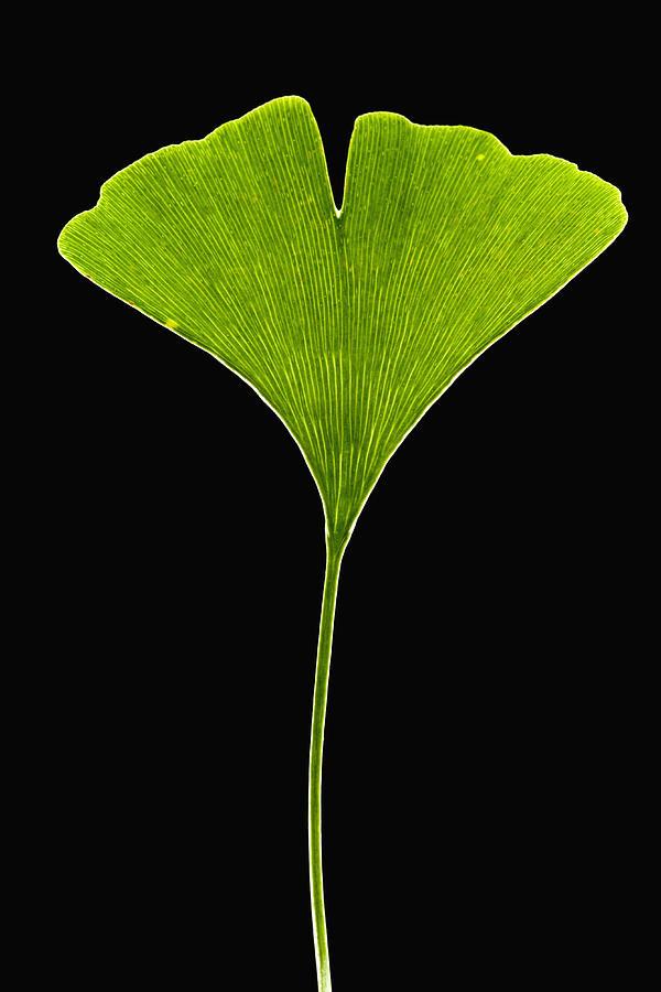 00476886 Photograph - Ginkgo Leaf by Piotr Naskrecki