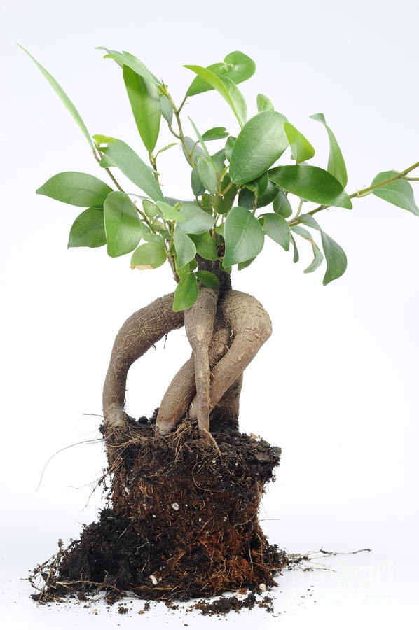 ginseng ficus bonsai photograph by sami sarkis. Black Bedroom Furniture Sets. Home Design Ideas