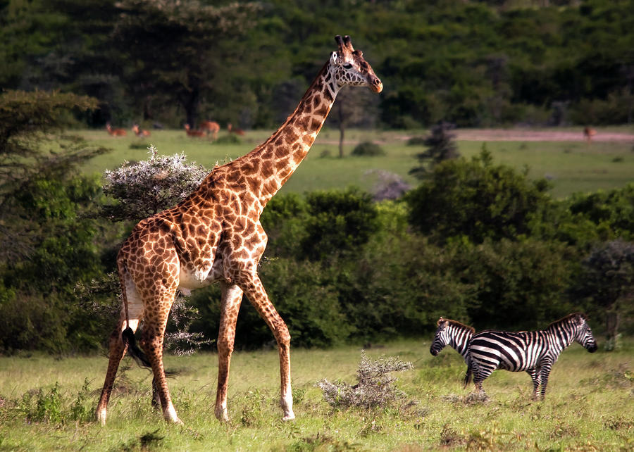 zebras and giraffes - photo #14