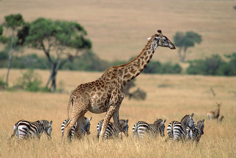 zebras and giraffes - photo #10