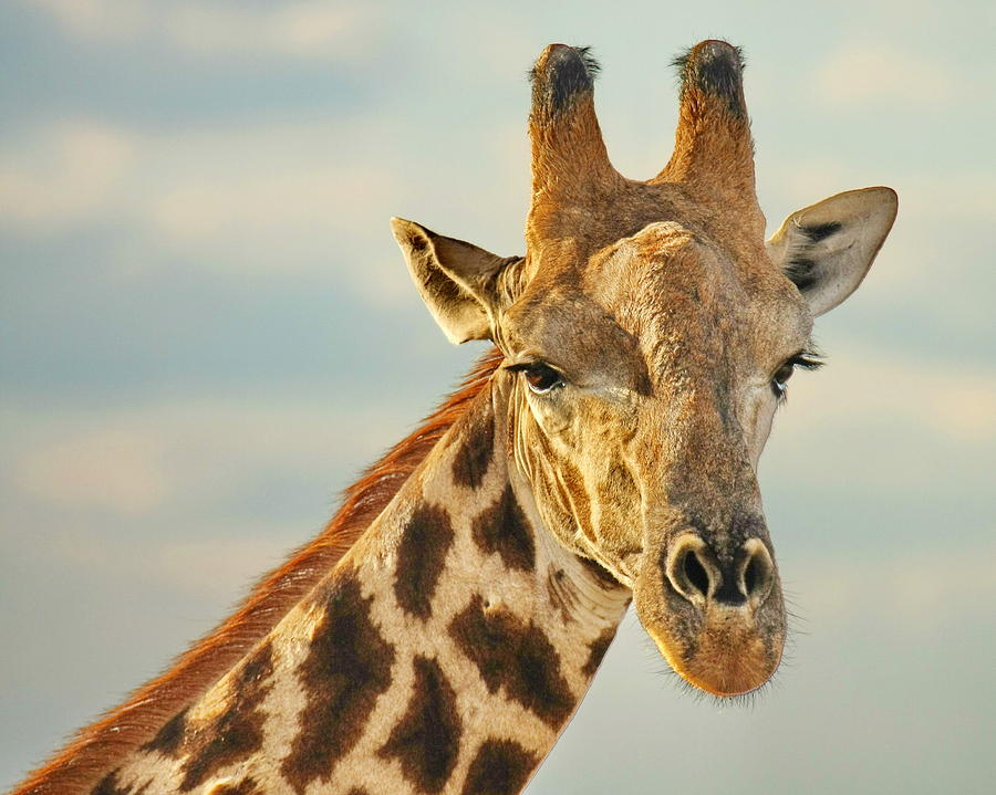 Giraffe Head And Neck Drawing | www.imgkid.com - The Image ...