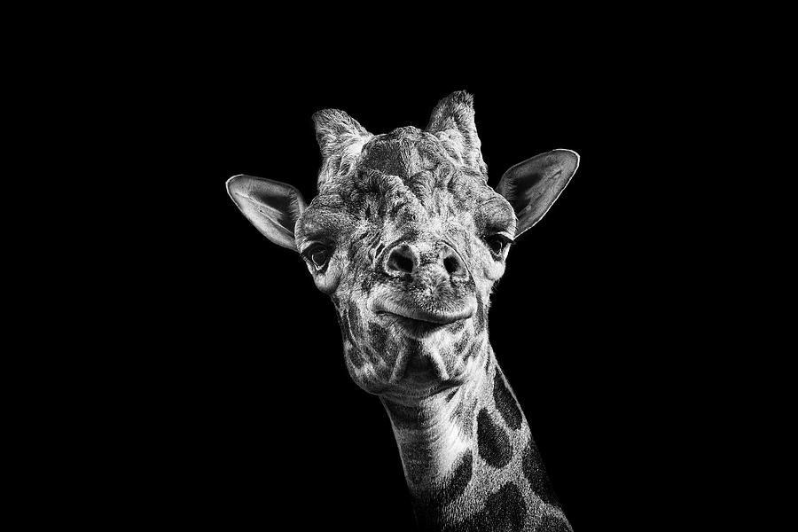 Giraffe In Black And White Photograph