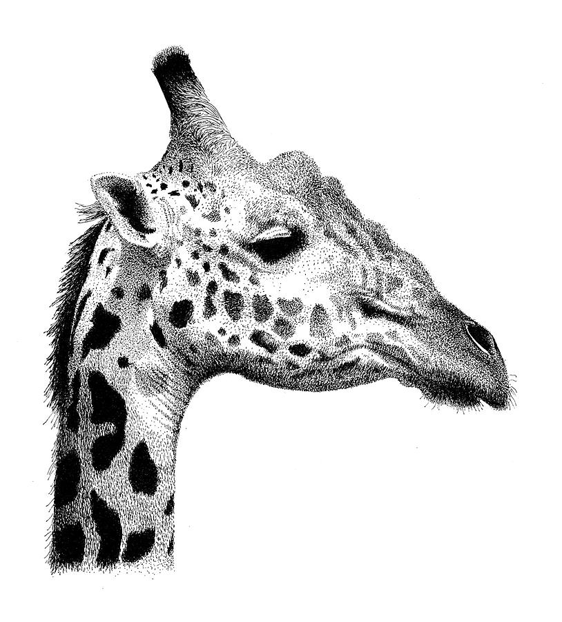 Giraffe by Scott WoyakCool Giraffe Drawings