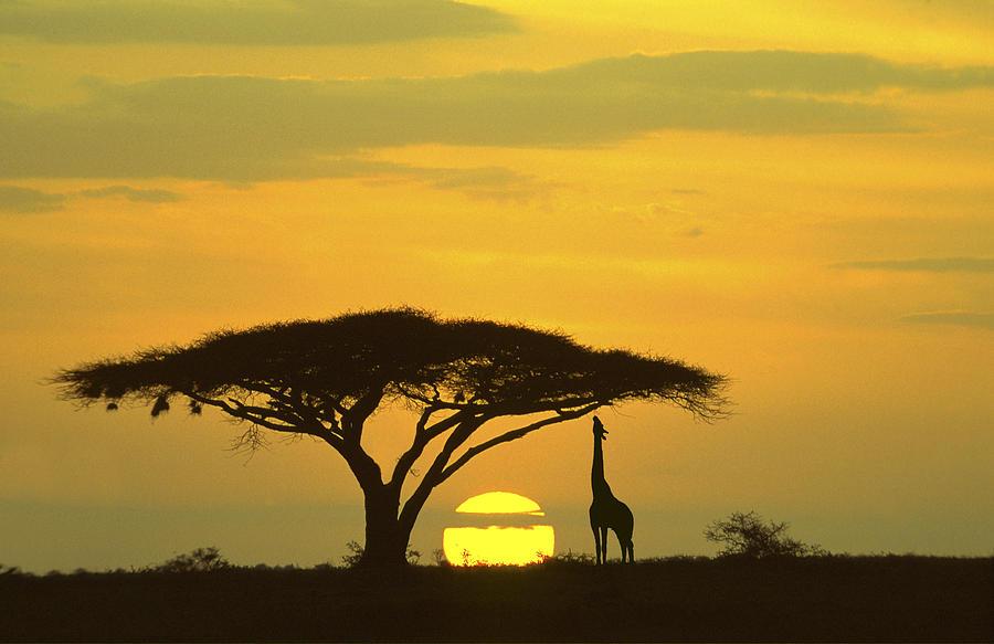Giraffe Serengeti National Park Sunrise Photograph By Boyd