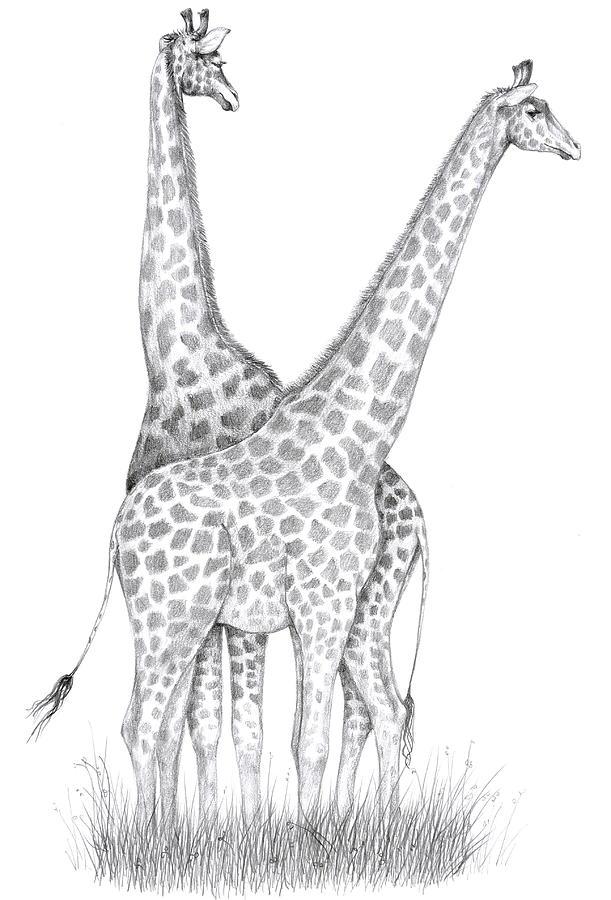 Cute Drawings of Giraffes Giraffe x 2 Drawing Giraffe
