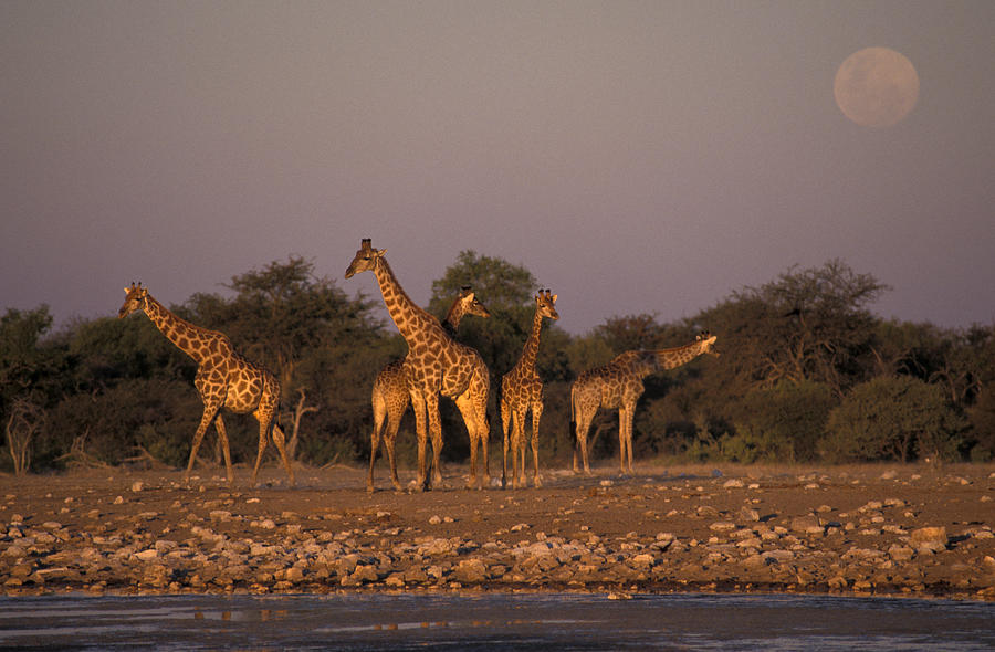 Giraffes at moonrise by christian heeb for Christian heeb