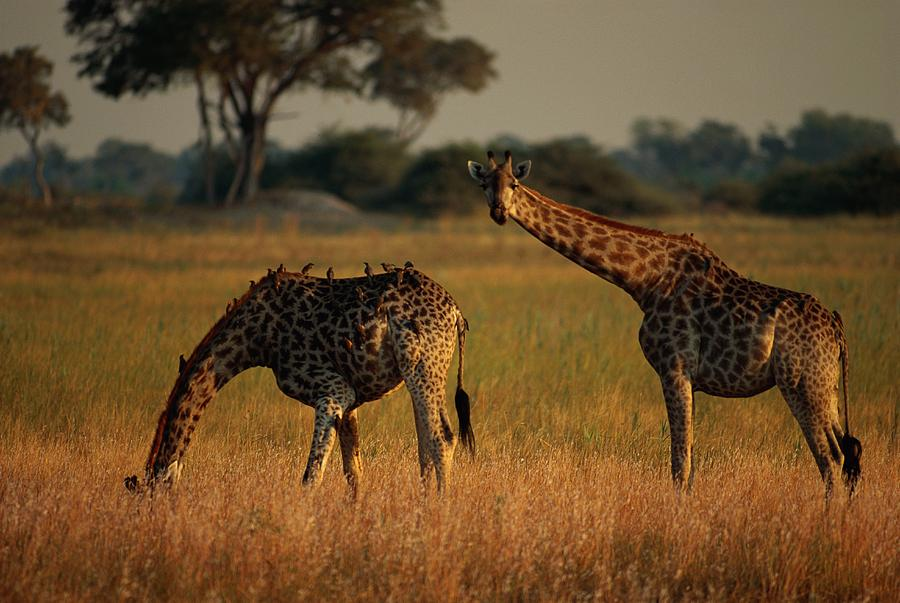 Giraffes Graze On The African Plain Photograph